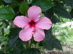 annual plant, flower, malvales, chinese hibiscus, rosa chinensis, petal,