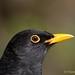 BLACKBIRD   (PORTRAIT)
