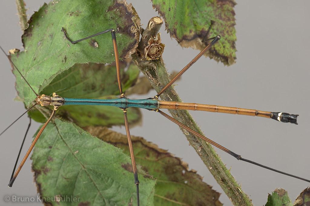 "Lopaphus sp. ""Cuc Phuong"" - colorful and active species 7294750928_d81045ba9d_b"