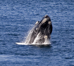 animal, marine mammal, whale, sea, marine biology, grey whale,