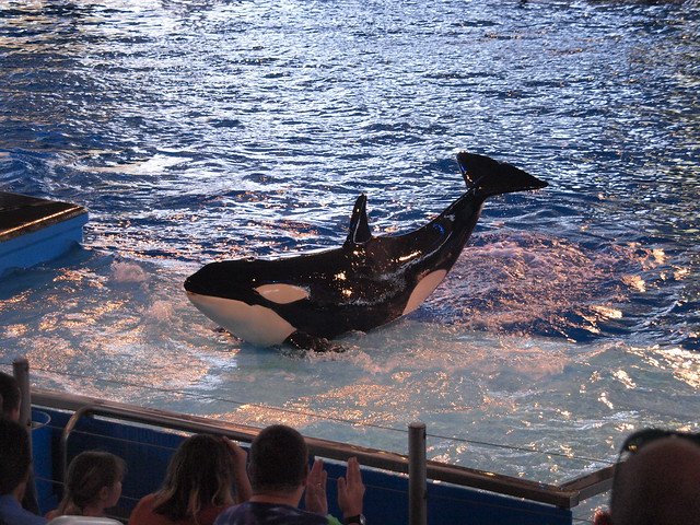San Antonio Texas SeaWorld marine mammal park - oceanarium - theme park At the Shamu Theater of killer whales performing the Show One Ocean 2012