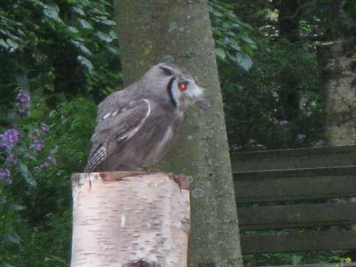 African Pygmy Owl