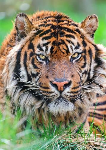 [フリー画像素材] 動物 1, 虎・トラ ID:201206101000