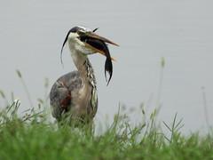 Great Blue Heron eats Pleco