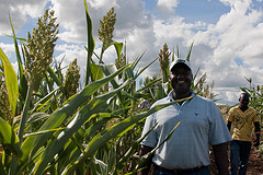Assessing sweet sorghum
