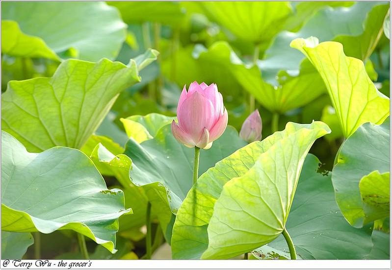 2012-06-24 三重疏洪荷花公園-6