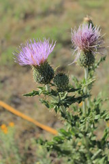 annual plant(1.0), flower(1.0), thistle(1.0), plant(1.0), wildflower(1.0), flora(1.0), silybum(1.0), artichoke thistle(1.0),