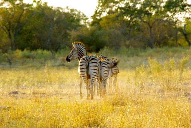 moremi game reserve, botswana africa