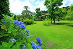 紫陽花が鮮やかな長生館の庭園
