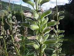 evergreen, tree, plant, herb, flora,