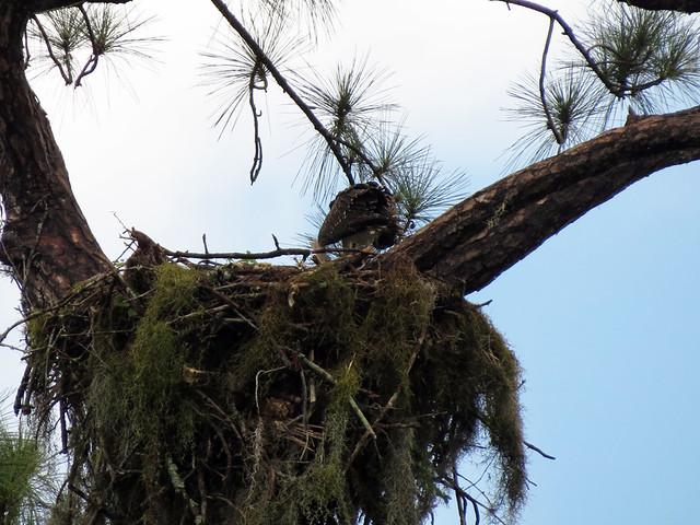 Osprey release