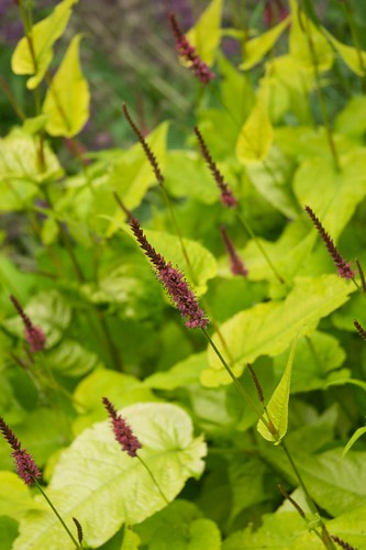 persicaria Golden Arrow  1859