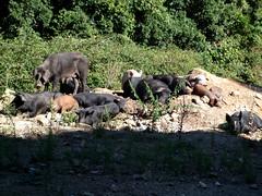Korsisches Wildschwein ... sehr lecker