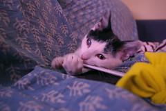 Furia, el gato