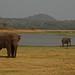 Asian Elephants in Minneriya NP (Thomas Mills)