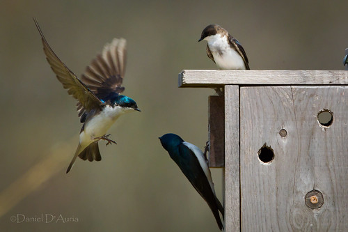 Three is a Crowd...Tree Swallows (Tachycineta bicolor) 7209