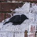 Crow 1, Morrissons