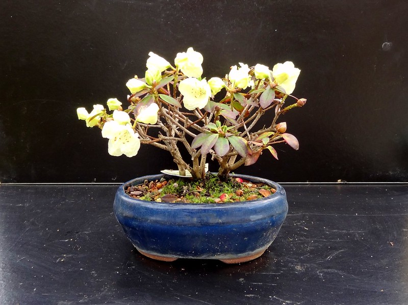 wee trees bonsai help forum advice for all view topic. Black Bedroom Furniture Sets. Home Design Ideas