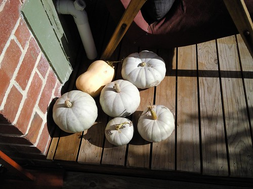Pumpkin Harvest!