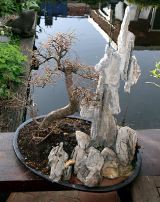 bonsai Engel Kromhout