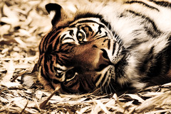 Tiger lying on ground