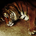 Benny; Everybodies favorite Sumatran Tiger