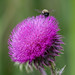Thistle and Bee 2