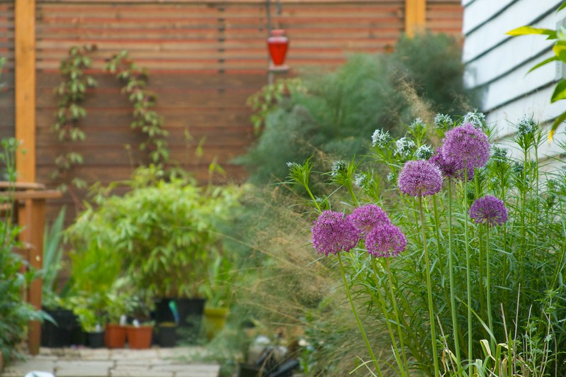 alliums and backyard  1649