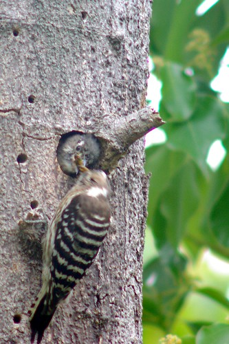 コゲラの給餌/Woodpecker feeding