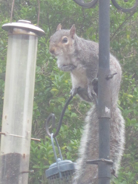 squirrel antics (11)