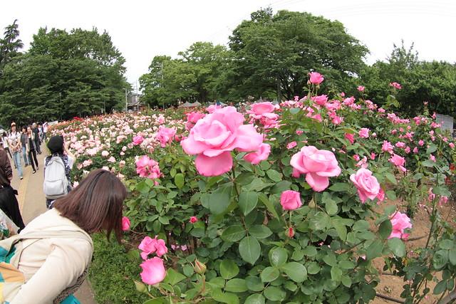 与野公園ばらまつり2012 yono park rose festival