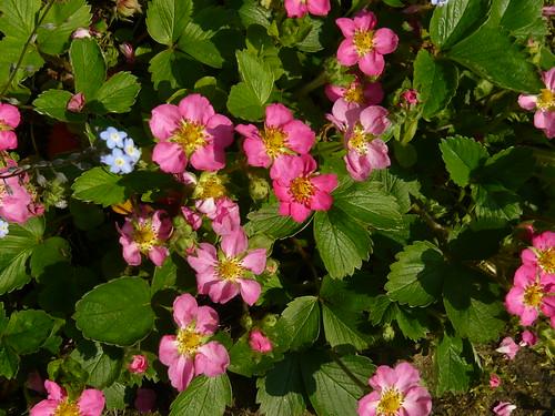 Newby Hall gardens Strawberry