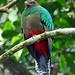 White-tipped Quetzal (Ian Tulloch)