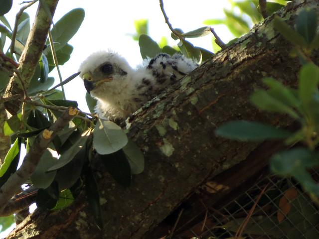 baby Cooper's Hawk