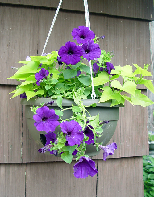 wave petunia and sweet potato vine