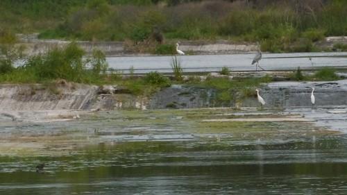 Several Herons