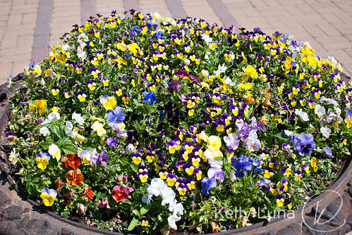 pansies-full