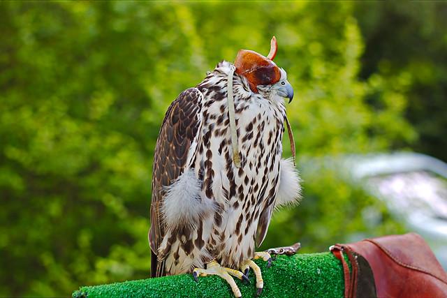 Faucon sacre «Falco cherrug»