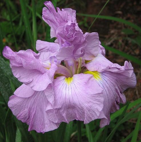 """Japanese Iris """"Rakka no Utage."""" by Leenechan"""