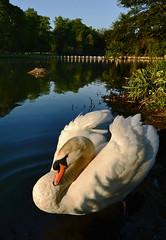 [フリー画像素材] 動物 2, 白鳥・ハクチョウ ID:201206270400
