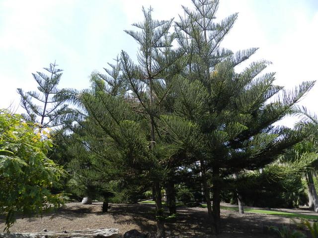 Arboles jard n canario las palmas de gran canaria 04 for Arboles de jardin fotos