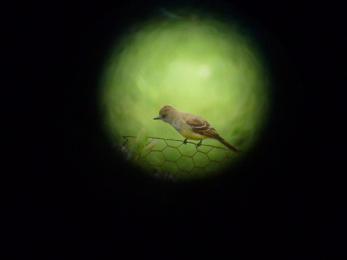 birds vermont aves flycatcher digiscope greatcrestedflycatcher myiarchuscrinitus spottingscope