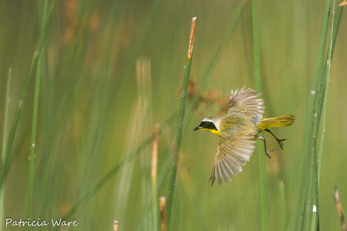 Common Yellowthroat in Flight