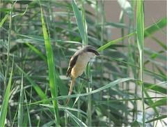 Long-tailed Shrike 2