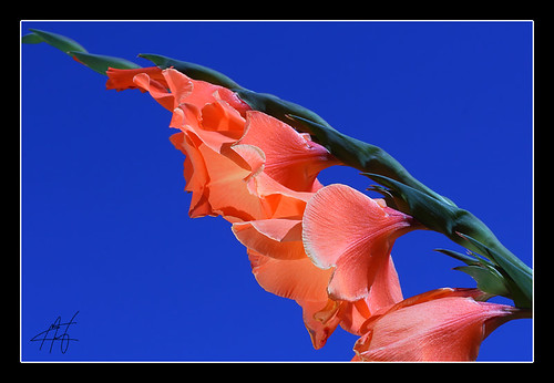Gladiolas Against The Blue Sky