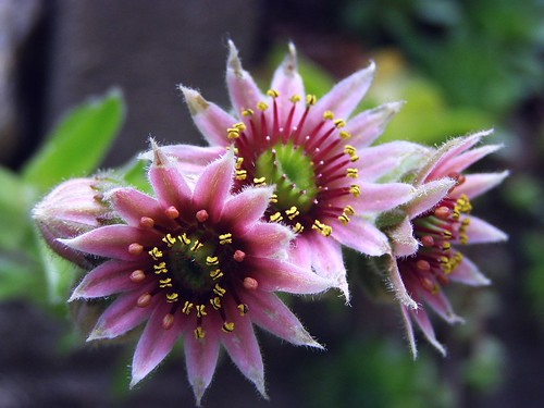 2012_0628Hens&Chicks0006 by maineman152 (Lou)