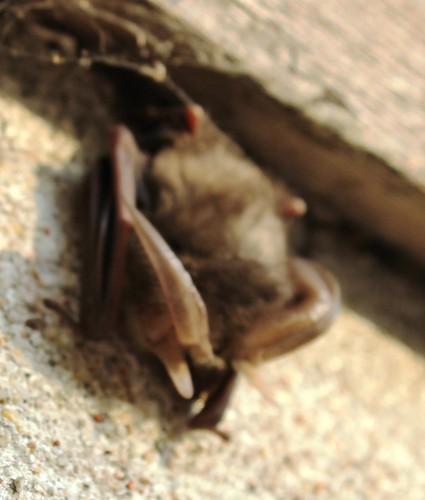 Nietoperz - Bat by xpisto1