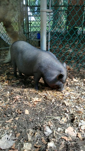 Mrs. Kravitz the piggy!!!