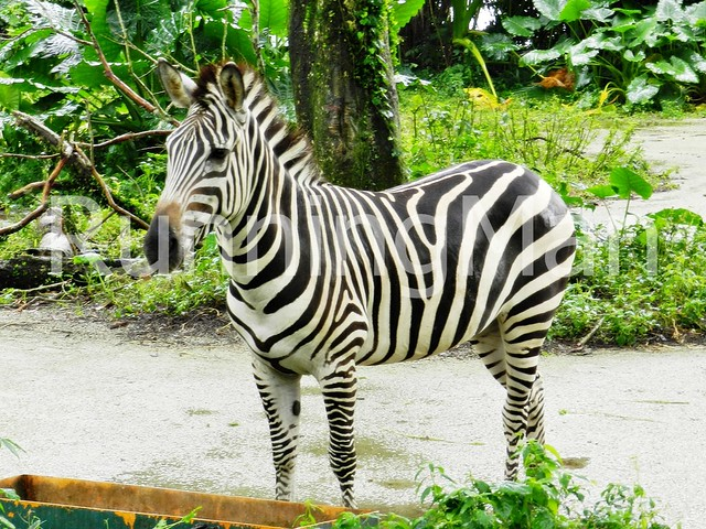 Singapore Zoo 09