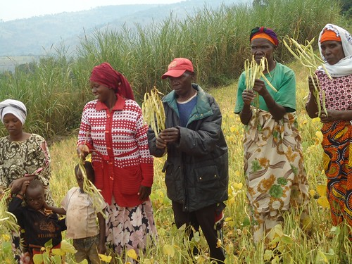 Farmers selecting desirable bean varieties during a farmers field day in Rwanda